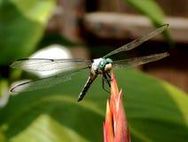 Dragon Fly Making eine Landung lizenzfreies stockbild