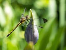 Dragon Fly. Met in Sapporo park Stock Image