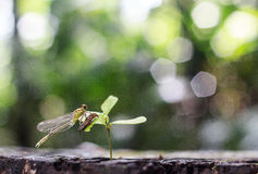 Dragon fly molt. On sapling in morning Stock Image
