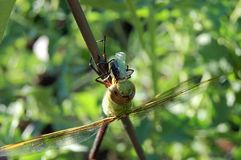 Dragon fly munching on green squash bug. Green dragon fly munching on lunch landed on tomatoe cage royalty free stock photo