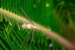 Dragon Fly immagine stock