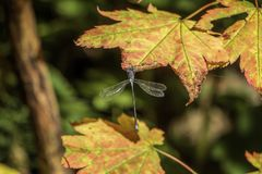 Dragon Fly på Autumn Maple Leaf 1 Royaltyfria Bilder