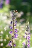 Dragon Fly på lupinen blommar (Lupinuspolyphyllusen) Arkivbild