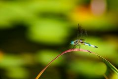 Dragon Fly Perched - Anisoptera. Dragonfly Anisoptera perched on a blade of grass at a local New Jersey pond stock images