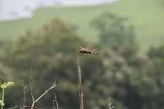 Dragon fly in plant royalty free stock photography