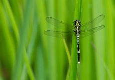 A dragon fly playing hide and seek royalty free stock photo