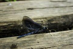 Dragon Fly in Plitvice, Croazia fotografie stock