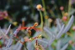 Dragon fly;predatory insects in the ecosystem Stock Images