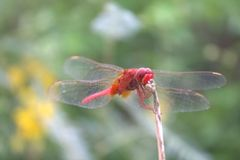 Dragon fly. Red dragon fly Stock Photos