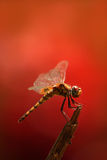A dragon fly in a red background. A tropical dragon fly sitting on tree a branch with red background Stock Images
