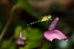 Dragon fly resting on flower. Royalty Free Stock Images