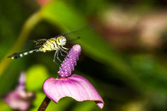 Dragon fly resting on leaf. Stock Photos