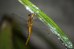 Dragon fly resting on leaf. Close up view of Dragon fly resting on leaf after whole day work Royalty Free Stock Image