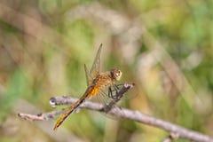 Dragon Fly Resting op een Takje Stock Afbeeldingen