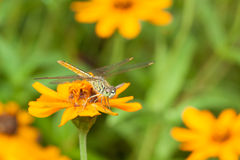 Dragon fly resting on orange flower Royalty Free Stock Photo