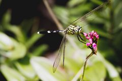 Dragon fly resting on purple flower. stock image