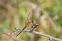Dragon Fly Resting on a Twig. A macro of a dragon fly resting on a twig Stock Images