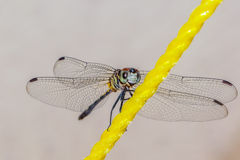 Dragon fly on a rope. Dragonfly on a yellow clothesline in my backyard Stock Photo