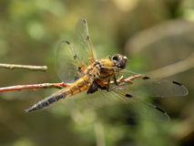 Dragon-fly. A dragon fly sitting on branch Royalty Free Stock Photo