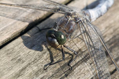 Dragon-fly sitting on a wooden plank Stock Photo