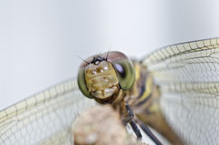 Dragon fly smile Royalty Free Stock Photo
