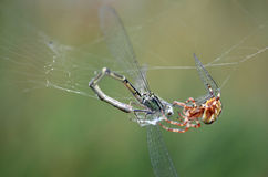 Dragon fly and spider Stock Photos