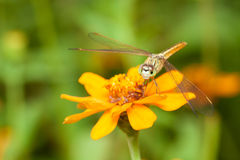 Dragon fly staring at you while resting on orange flower Royalty Free Stock Photos