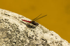 Dragon-fly on stone Royalty Free Stock Images