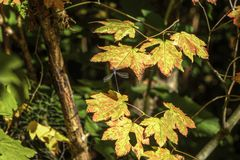 Dragon Fly su Autumn Maple Leaf 2 fotografie stock