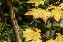 Dragon Fly su Autumn Maple Leaf 3 fotografia stock libera da diritti