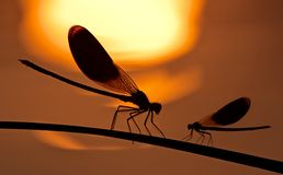 Dragon-fly on sundown Stock Image