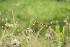 Dragon Fly sur l'herbe Withered Image libre de droits