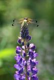 Dragon Fly sur les fleurs de loup (polyphyllus de lupinus) Image stock