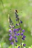 Dragon Fly sur les fleurs de loup (polyphyllus de lupinus) Photos stock