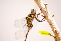A dragon fly taking a sunbath royalty free stock photos