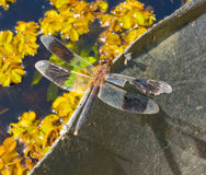 A dragon fly in the tropics Royalty Free Stock Images