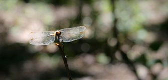 Dragon-fly on a twig Royalty Free Stock Photo