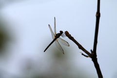 Dragon fly on twig Royalty Free Stock Photography