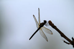 Dragon fly on twig stock photography