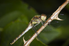 Dragon fly on twig. Full-body close up eggs sitting spotted Darter on a sheet Royalty Free Stock Images