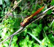 Dragon Fly vermelho na grama na luz de Sun Imagem de Stock