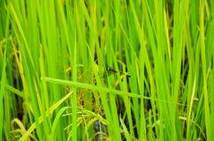 Dragon Fly on vivid green rice field, Siem Reap, Cambodia Royalty Free Stock Photography