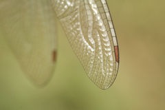 Dragon Fly Wing. The tip of the left wing of a dragon fly Royalty Free Stock Photography