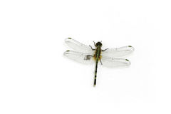 Dragon Fly with wings wide open Stock Images
