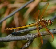Dragon fly. Dragon in the yard Royalty Free Stock Image