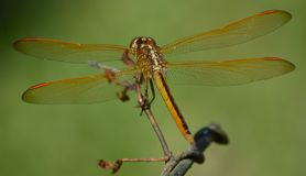 Dragon fly. Dragon in the yard Royalty Free Stock Photos