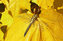 Dragon fly  on a yellow maple leaf Stock Photography