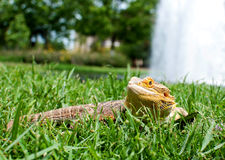 Dragon Fountain barbuto Fotografia Stock Libera da Diritti
