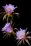 Dragon fruit. Flowers will bloom at night and morning Stock Images