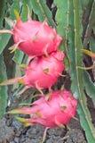 Dragon fruit Royalty Free Stock Images